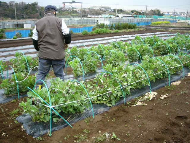 抜いた収穫時期を過ぎたキャベツ&レタス、菜の花・・メキャベツ、ブロッコリーを抜き トラクターで粉砕_c0222448_14525478.jpg