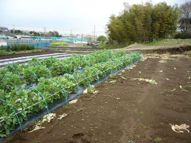 抜いた収穫時期を過ぎたキャベツ&レタス、菜の花・・メキャベツ、ブロッコリーを抜き トラクターで粉砕_c0222448_1453086.jpg