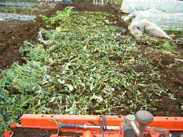 抜いた収穫時期を過ぎたキャベツ&レタス、菜の花・・メキャベツ、ブロッコリーを抜き トラクターで粉砕_c0222448_14531262.jpg