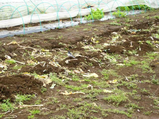 抜いた収穫時期を過ぎたキャベツ&レタス、菜の花・・メキャベツ、ブロッコリーを抜き トラクターで粉砕_c0222448_14532242.jpg