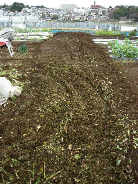 抜いた収穫時期を過ぎたキャベツ&レタス、菜の花・・メキャベツ、ブロッコリーを抜き トラクターで粉砕_c0222448_14533355.jpg