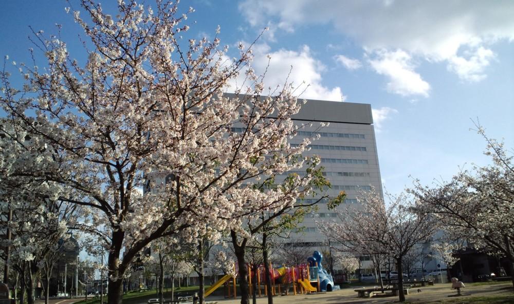 桜!満開!in姪浜中央公園(福岡市)_d0082356_7522757.jpg