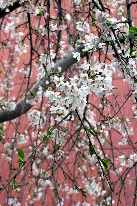 日本橋の桜 (3/26) / 社是は信号無視ですか(^^;_b0006870_1217012.jpg