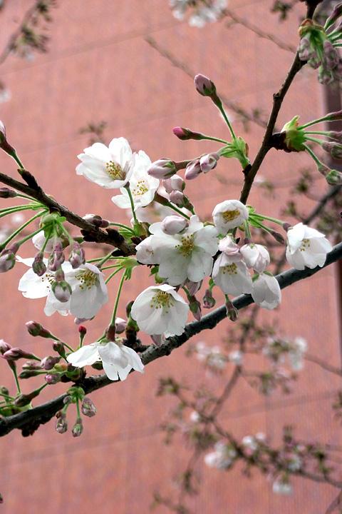 日本橋の桜 (3/26) / 社是は信号無視ですか(^^;_b0006870_12171738.jpg