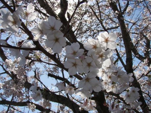 マリーナの桜は8分咲き_a0077071_22471510.jpg