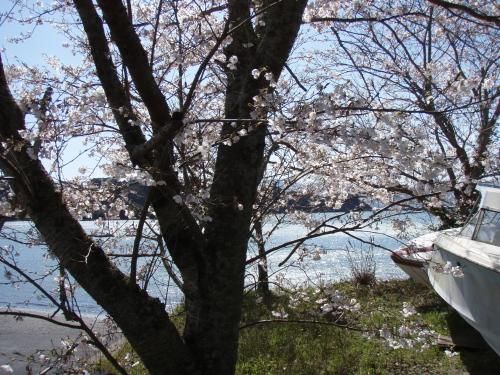 マリーナの桜は8分咲き_a0077071_22483526.jpg