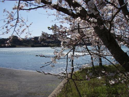 マリーナの桜は8分咲き_a0077071_224922100.jpg