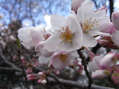 桜イリュージョン♪_b0105897_131327.jpg