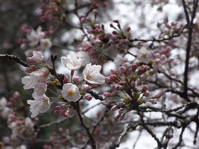 桜イリュージョン♪_b0105897_133312.jpg