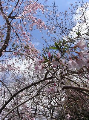 桜イリュージョン♪_b0105897_135916.jpg