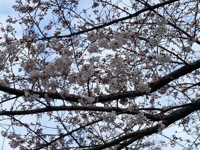 桜の通り道2010_b0151300_1416459.jpg