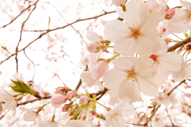 石山観音池公園(桜)_a0169912_23384581.jpg