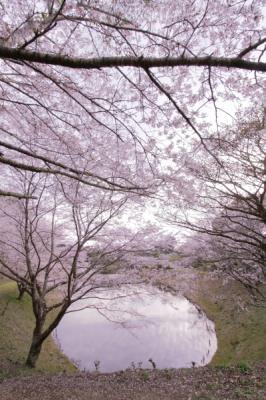 石山観音池公園(桜)_a0169912_23434748.jpg