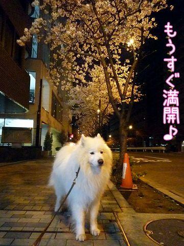 夜桜モフモフ売り_c0062832_17153635.jpg