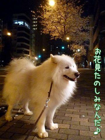夜桜モフモフ売り_c0062832_17154219.jpg