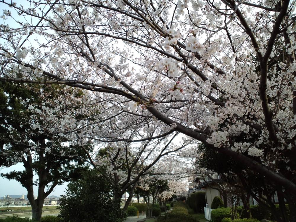 桜!満開!in室見川 河川敷_d0082356_7401368.jpg