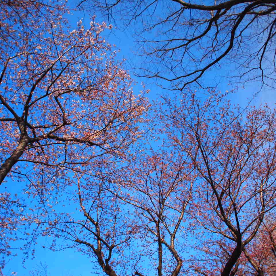 帰り、天祖神社の桜_f0230666_1846810.jpg