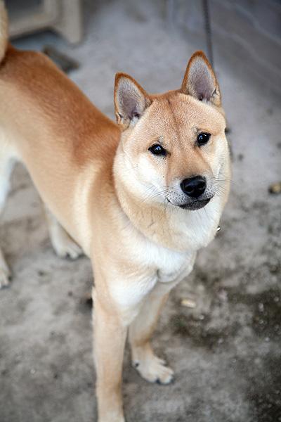マルに見る山陰柴犬の特徴 : 山陰柴犬ギャラリー