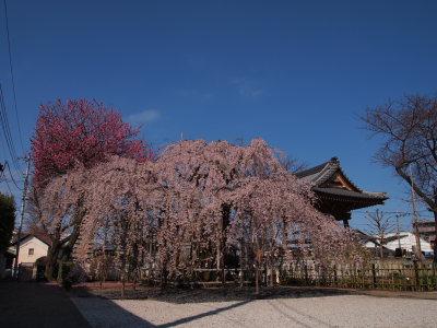 しだれ桜_a0027275_2014155.jpg