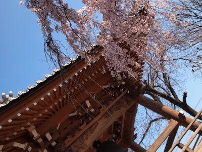 しだれ桜_a0027275_2023370.jpg