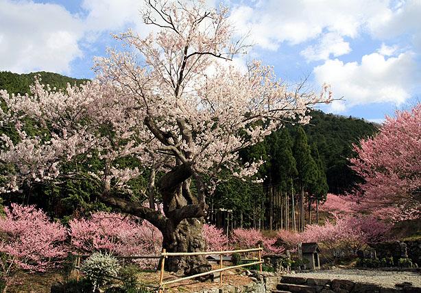 春谷寺のエドヒガン桜_b0186680_14512976.jpg