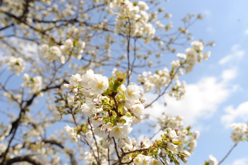 咲きだした大島桜@お花畑_d0056382_952315.jpg