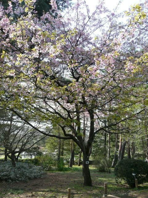 神代植物公園の樹木の花_e0145782_722895.jpg