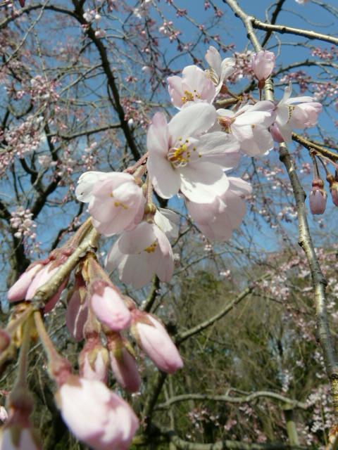 神代植物公園の樹木の花_e0145782_7232922.jpg