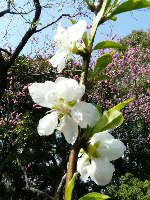 神代植物公園の樹木の花_e0145782_724636.jpg