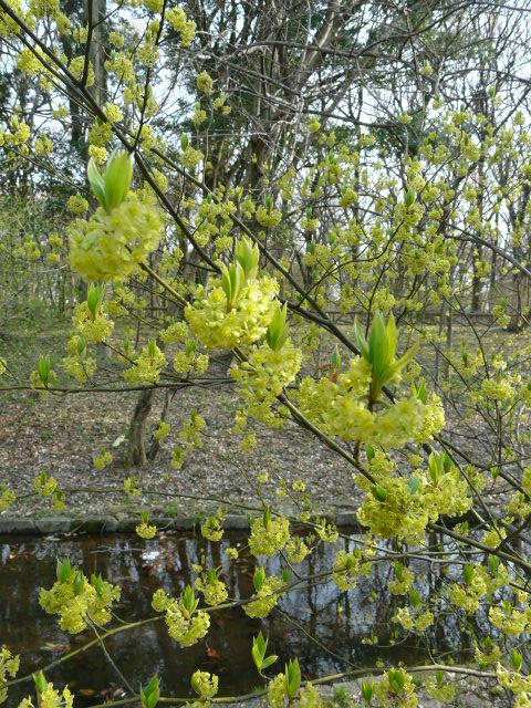 神代植物公園の樹木の花_e0145782_7253014.jpg