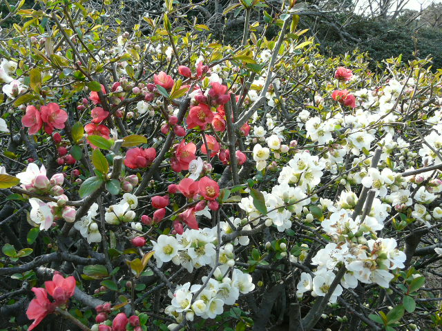 神代植物公園の樹木の花_e0145782_7271280.jpg