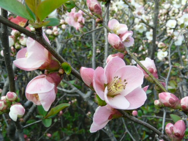 神代植物公園の樹木の花_e0145782_7275235.jpg