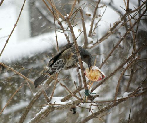 今日も雪です。 猫部屋の多肉植物たち♪_a0136293_16524815.jpg