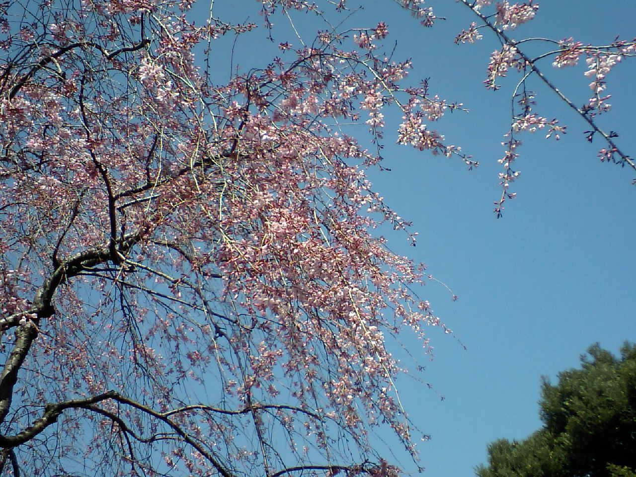 目白庭園のしだれ桜_d0027795_10454872.jpg