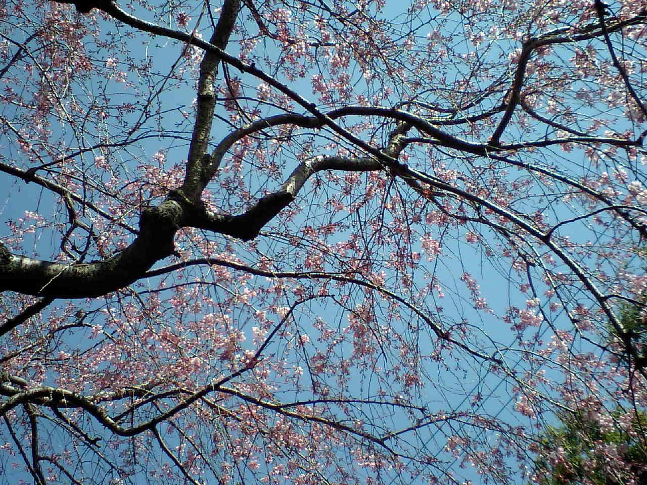 目白庭園のしだれ桜その2_d0027795_10474850.jpg