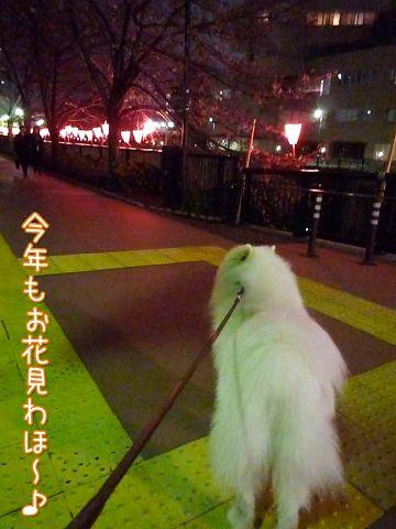 桜と鼻水_c0062832_1751954.jpg