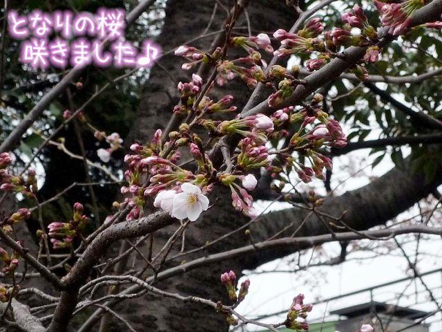 桜と鼻水_c0062832_1752448.jpg