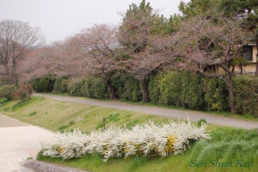 加茂川の桜_a0164068_1804189.jpg