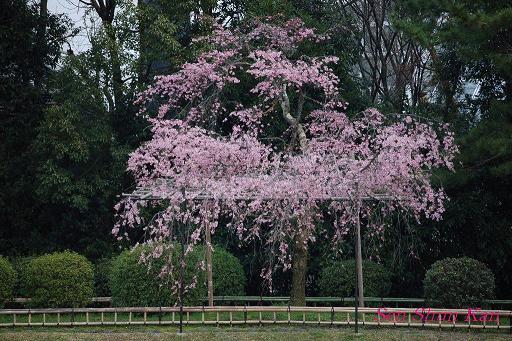 加茂川の桜_a0164068_18101648.jpg