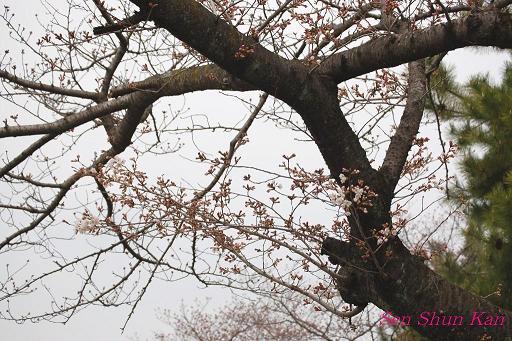 加茂川の桜_a0164068_1814065.jpg