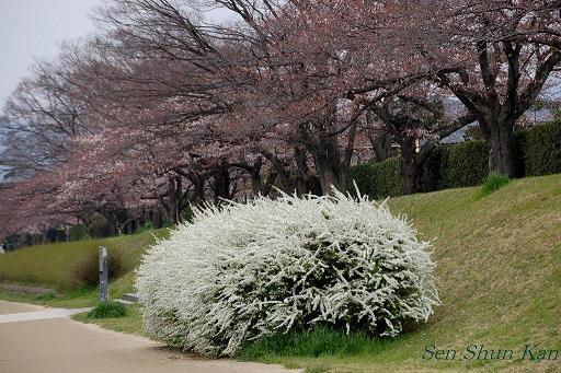 加茂川の桜_a0164068_1841877.jpg
