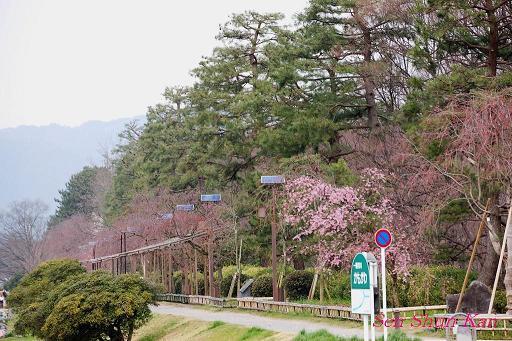 加茂川の桜_a0164068_185039.jpg