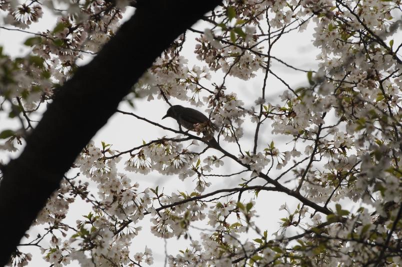早い大島桜は満開を過ぎて@馬事公苑_d0056382_22345577.jpg