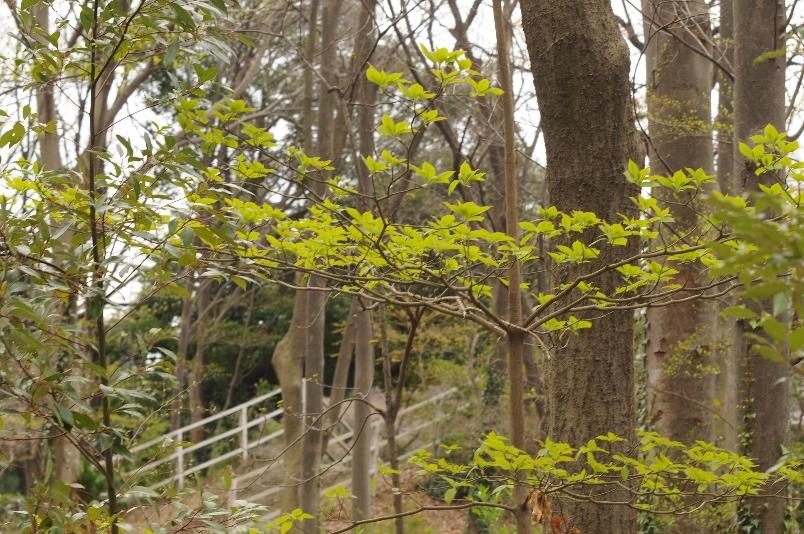 この時期に自己主張する水木の新芽@武蔵野の森_d0056382_238255.jpg