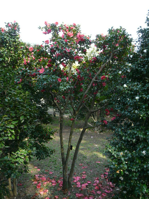 神代植物公園の椿園_e0145782_19284140.jpg
