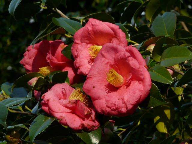 神代植物公園の椿園_e0145782_19285647.jpg