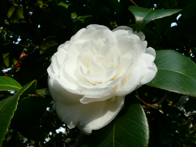 神代植物公園の椿園_e0145782_19293737.jpg