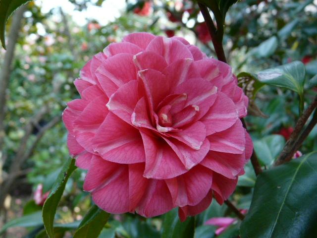 神代植物公園の椿園_e0145782_19303890.jpg