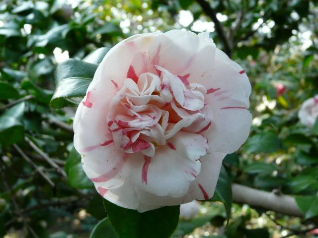 神代植物公園の椿園_e0145782_193057100.jpg