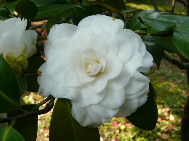 神代植物公園の椿園_e0145782_1931166.jpg
